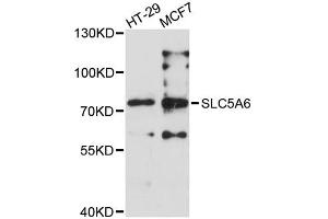 Image no. 1 for anti-Solute Carrier Family 5 (Iodide Transporter), Member 6 (SLC5A6) antibody (ABIN2559983)