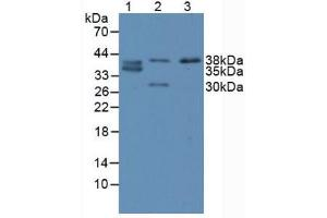 Image no. 1 for anti-Caudal Type Homeobox 2 (CDX2) (AA 1-313) antibody (ABIN1867172)