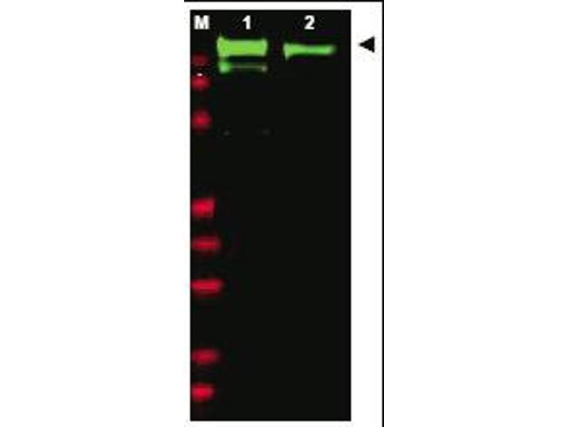 Western Blotting (WB) image for anti-EGFR antibody (Epidermal Growth Factor Receptor) (AA 1168-1180) (ABIN118051)