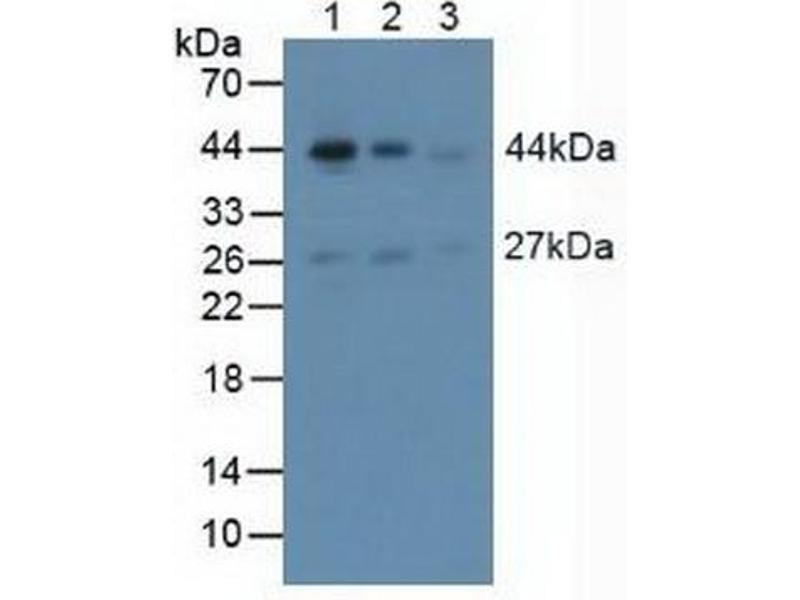 Western Blotting (WB) image for anti-Actin, alpha 2, Smooth Muscle, Aorta (ACTA2) (AA 167-377) antibody (ABIN1857877)