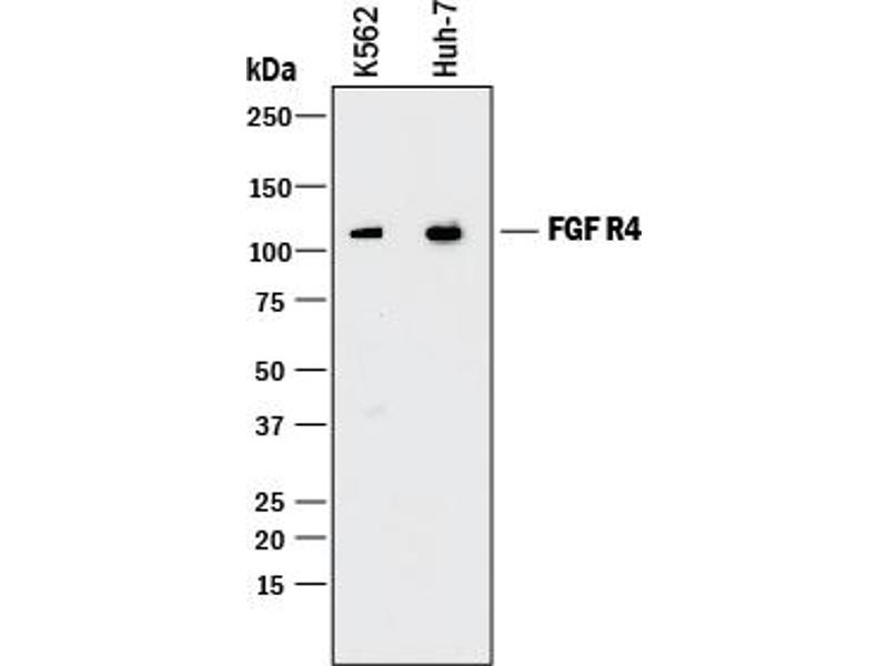 Western Blotting (WB) image for anti-Fibroblast Growth Factor Receptor 4 (FGFR4) (AA 22-369) antibody (ABIN4899673)