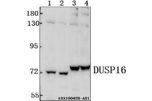 Image no. 1 for anti-Dual Specificity Phosphatase 16 (DUSP16) (AA 577-621) antibody (ABIN6711089)