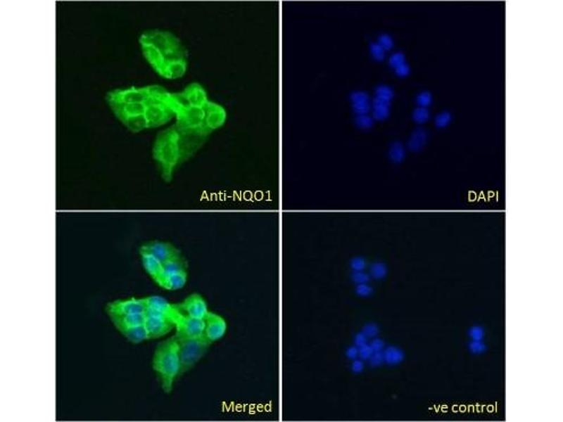 Immunofluorescence (Cultured Cells) (IF (cc)) image for anti-NAD(P)H Dehydrogenase, Quinone 1 (NQO1) (C-Term), (all Isoforms) antibody (ABIN249473)