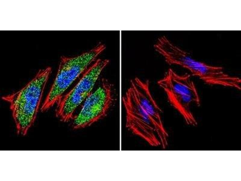 Immunofluorescence (IF) image for anti-ARNT antibody (Aryl Hydrocarbon Receptor Nuclear Translocator) (ABIN152684)