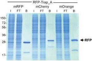 Image no. 1 for RFP VHH, recombinant binding protein (RFP-Trap®) (ABIN509416)