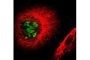 Immunofluorescence (IF) image for anti-Baculoviral IAP Repeat Containing 2 (BIRC2) antibody (ABIN4298713)