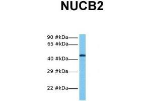 Image no. 4 for anti-Nucleobindin 2 (NUCB2) (Middle Region) antibody (ABIN2774832)