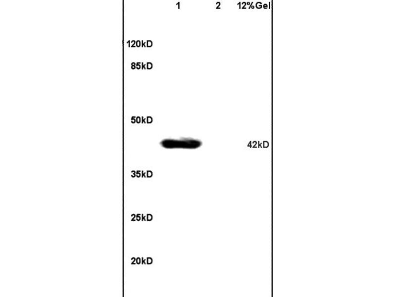 SDS-PAGE (SDS) image for anti-JNK antibody (Mitogen-Activated Protein Kinase 8) (AA 170-210) (ABIN732368)