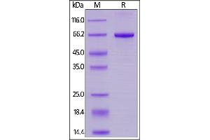 Image no. 3 for Signal-Regulatory Protein alpha (SIRPA) (AA 31-370) (Active) protein (His tag) (ABIN6253574)
