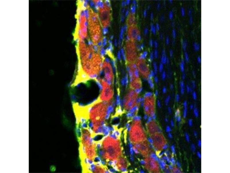 Immunofluorescence (IF) image for anti-RHOA antibody (Ras Homolog Gene Family, Member A) (ABIN446153)