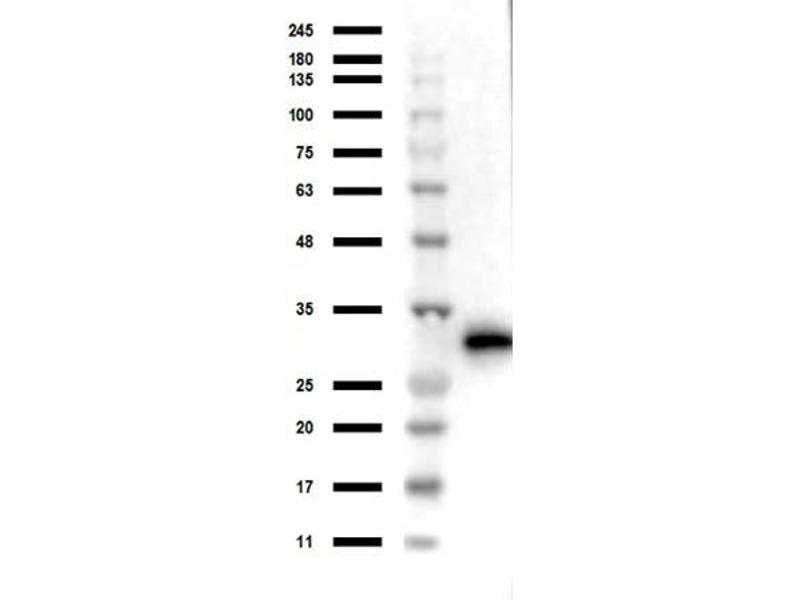Image no. 9 for anti-Red Fluorescent Protein (RFP) antibody (ABIN129578)