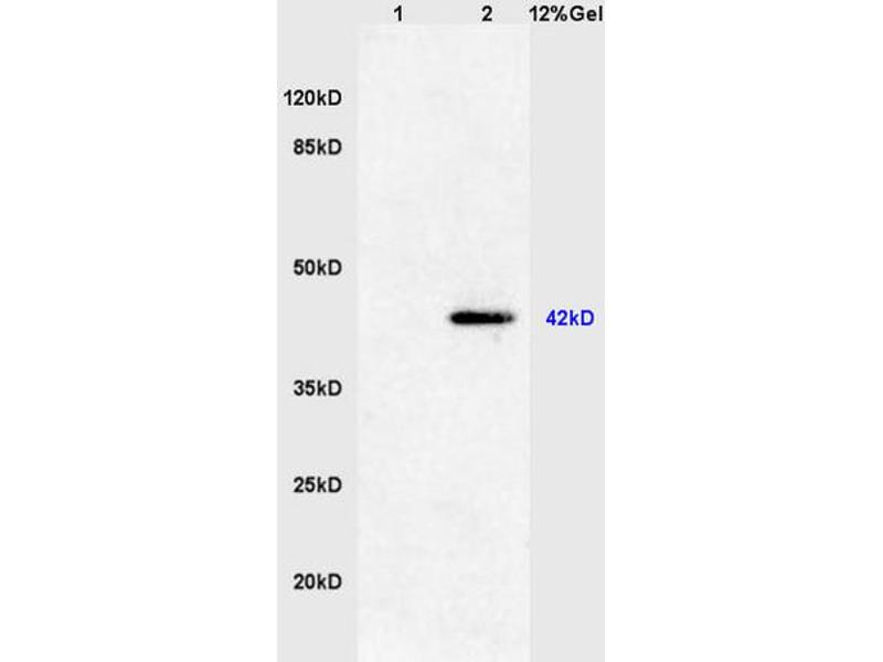 SDS-PAGE (SDS) image for anti-Mitogen-Activated Protein Kinase 1/3 (MAPK1/3) (AA 155-205), (Tyr185), (pThr183) 抗体 (ABIN732458)