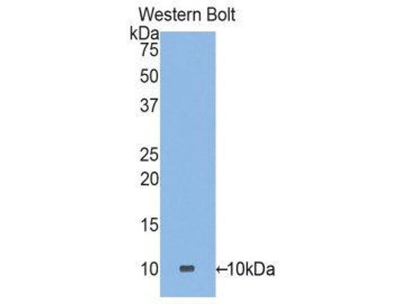 Western Blotting (WB) image for anti-Defensin, alpha 3, Neutrophil-Specific (DEFa3) (AA 21-94) antibody (ABIN1858619)