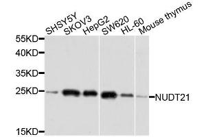Image no. 2 for anti-Nudix (Nucleoside Diphosphate Linked Moiety X)-Type Motif 21 (NUDT21) antibody (ABIN1681134)