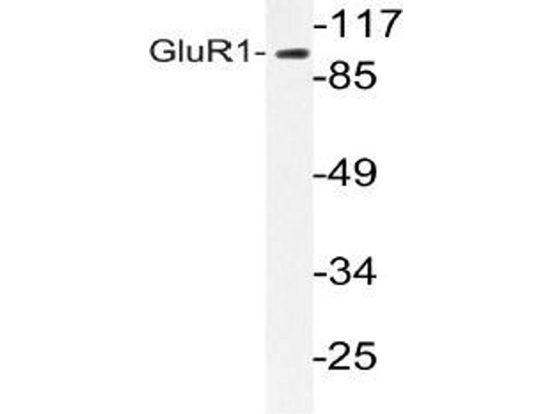 Western Blotting (WB) image for anti-GRIA1 antibody (Glutamate Receptor, Ionotropic, AMPA 1) (ABIN498649)