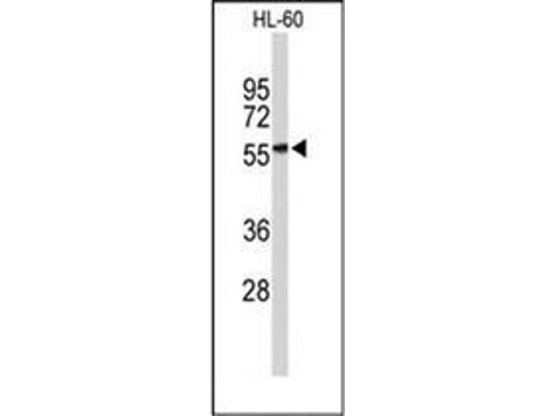 Western Blotting (WB) image for anti-Killer Cell Immunoglobulin-Like Receptor, three Domains, Long Cytoplasmic Tail, 2 (KIR3DL2) (AA 53-82), (N-Term) antibody (ABIN953082)