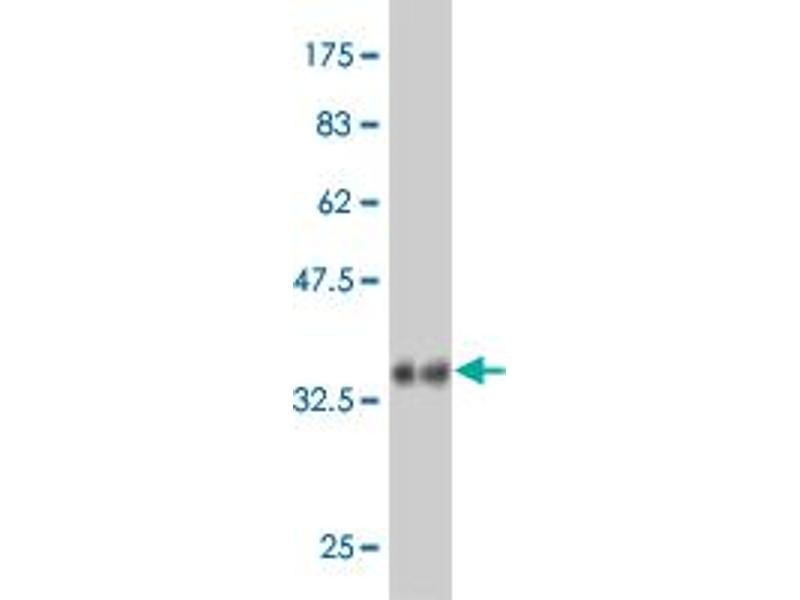 Western Blotting (WB) image for anti-Rap Guanine Nucleotide Exchange Factor (GEF)-Like 1 (RAPGEFL1) (AA 1-100) antibody (ABIN396424)