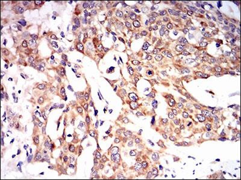 Image no. 1 for anti-Paraoxonase 1 (PON1) (AA 20-155) antibody (ABIN1724910)