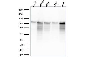 Image no. 1 for anti-Minichromosome Maintenance Complex Component 7 (MCM7) (AA 195-319) antibody (ABIN6940025)