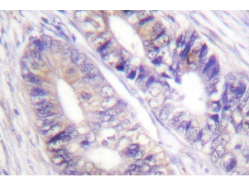 Image no. 2 for anti-Tyrosine 3-Monooxygenase/tryptophan 5-Monooxygenase Activation Protein, zeta Polypeptide (YWHAZ) antibody (ABIN272122)
