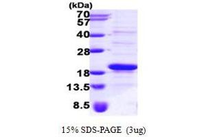 Image no. 1 for Signal Recognition Particle 14kDa (Homologous Alu RNA Binding Protein) (SRP14) (AA 1-136) protein (His tag) (ABIN667276)
