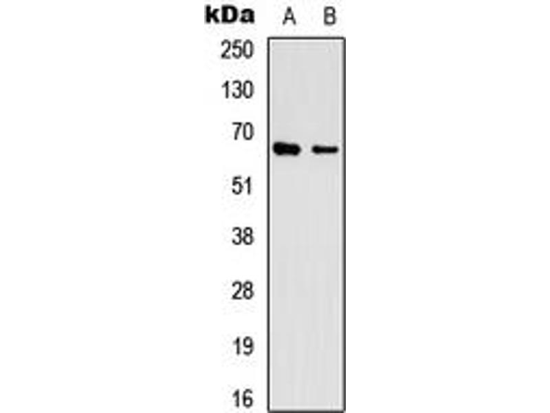 Image no. 3 for anti-Eukaryotic Translation Initiation Factor 3, Subunit L (EIF3L) (N-Term) antibody (ABIN2707491)
