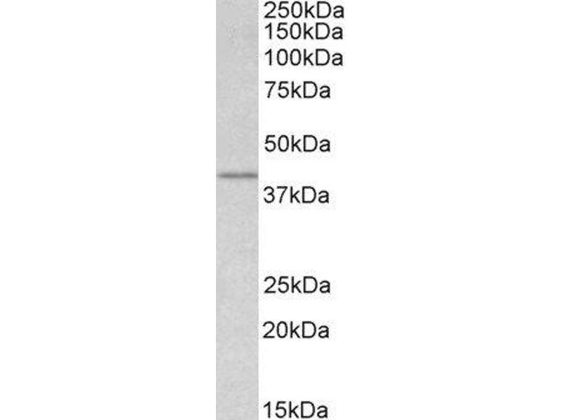 Western Blotting (WB) image for anti-Wingless-Type MMTV Integration Site Family, Member 3 (WNT3) (Internal Region) antibody (ABIN2560784)