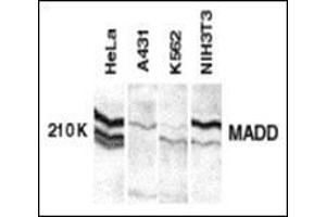 Image no. 2 for anti-MAP-Kinase Activating Death Domain (MADD) (C-Term) antibody (ABIN500216)