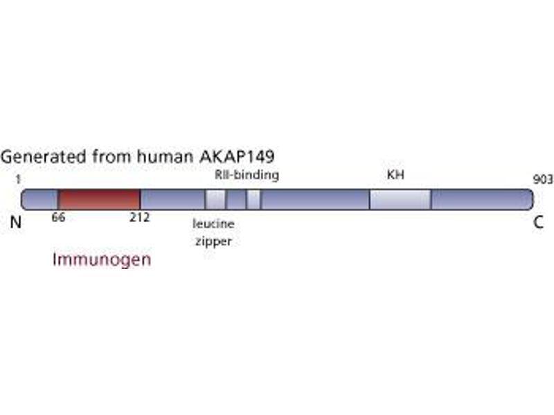 Image no. 3 for anti-AKAP1 antibody (A Kinase (PRKA) Anchor Protein 1) (AA 66-212) (ABIN968136)
