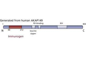 anti-A Kinase (PRKA) Anchor Protein 1 (AKAP1) (AA 66-212) antibody (3)