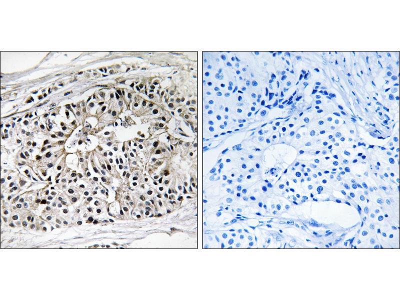 Image no. 1 for anti-Enoyl-CoA, Hydratase/3-Hydroxyacyl CoA Dehydrogenase (EHHADH) (Internal Region) antibody (ABIN1576221)
