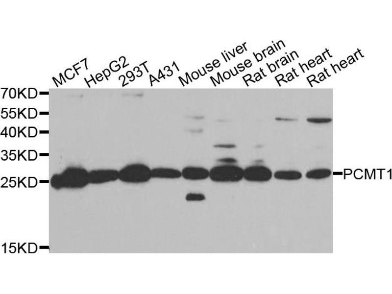 Western Blotting (WB) image for anti-Protein-L-Isoaspartate (D-Aspartate) O-Methyltransferase (PCMT1) antibody (ABIN2969780)