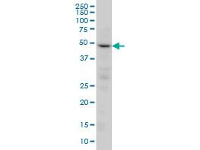 Western Blotting (WB) image for anti-Protein Phosphatase 2, Regulatory Subunit B, gamma (PPP2R2C) (AA 1-110), (partial) antibody (ABIN562353)