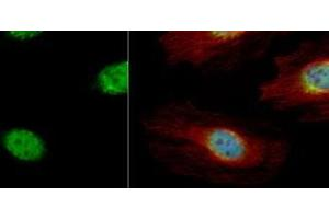 Immunofluorescence (IF) image for anti-Cyclin A antibody (Cyclin A2) (Center) (ABIN441337)