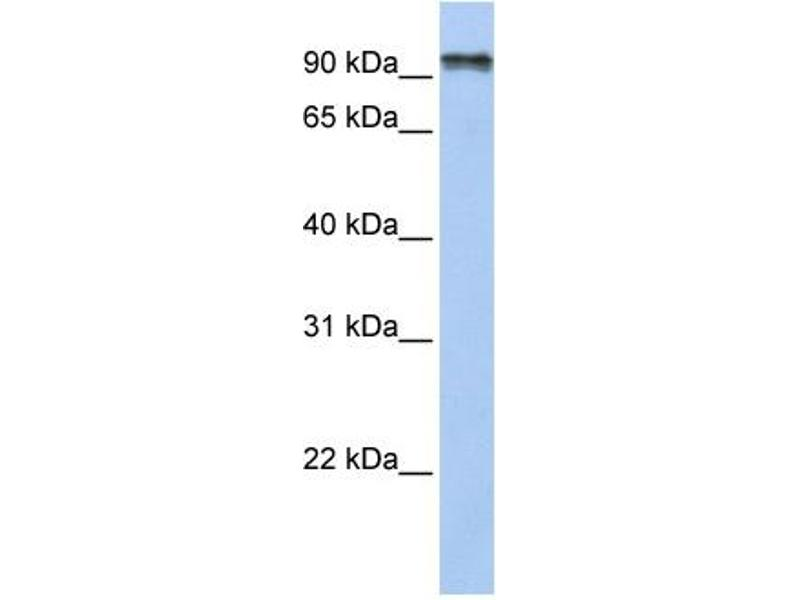 Western Blotting (WB) image for anti-Protocadherin gamma Subfamily C, 4 (PCDHGC4) (N-Term) antibody (ABIN2783728)
