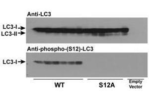 anti-Microtubule-Associated Protein 1 Light Chain 3 gamma (MAP1LC3C) (pSer12) antibody