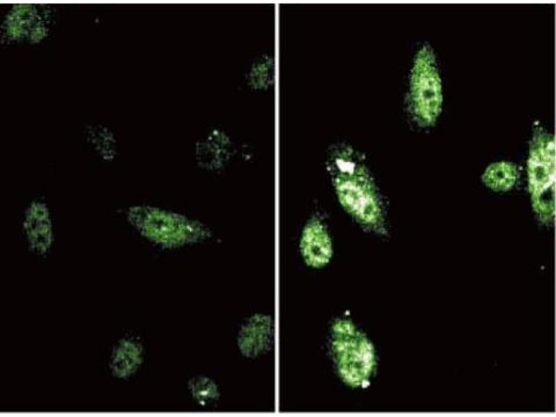 Immunofluorescence (IF) image for anti-Signal Transducer and Activator of Transcription 6, Interleukin-4 Induced (STAT6) (pTyr641) antibody (ABIN968593)