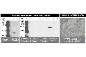 Image no. 1 for anti-Cytochrome P450, Family 3, Subfamily A, Polypeptide 5 (CYP3A5) (C-Term) antibody (ABIN264500)