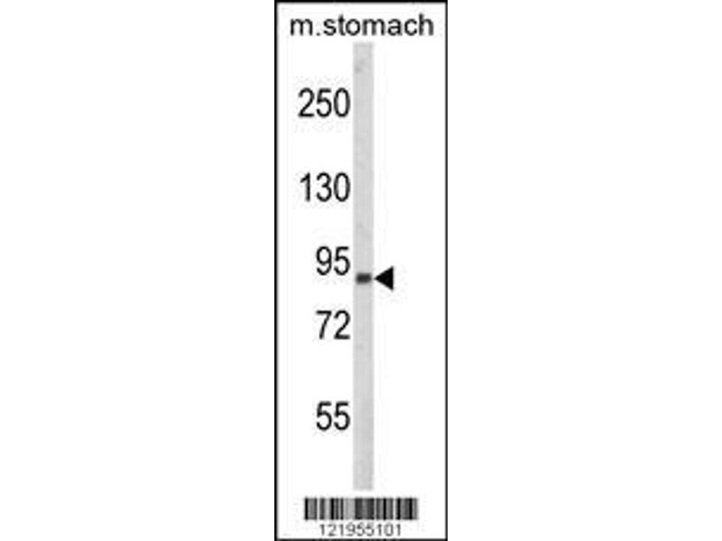 Western Blotting (WB) image for anti-Par-3 Partitioning Defective 3 Homolog (C. Elegans) (PARD3) (AA 1329-1356), (C-Term) antibody (ABIN652622)