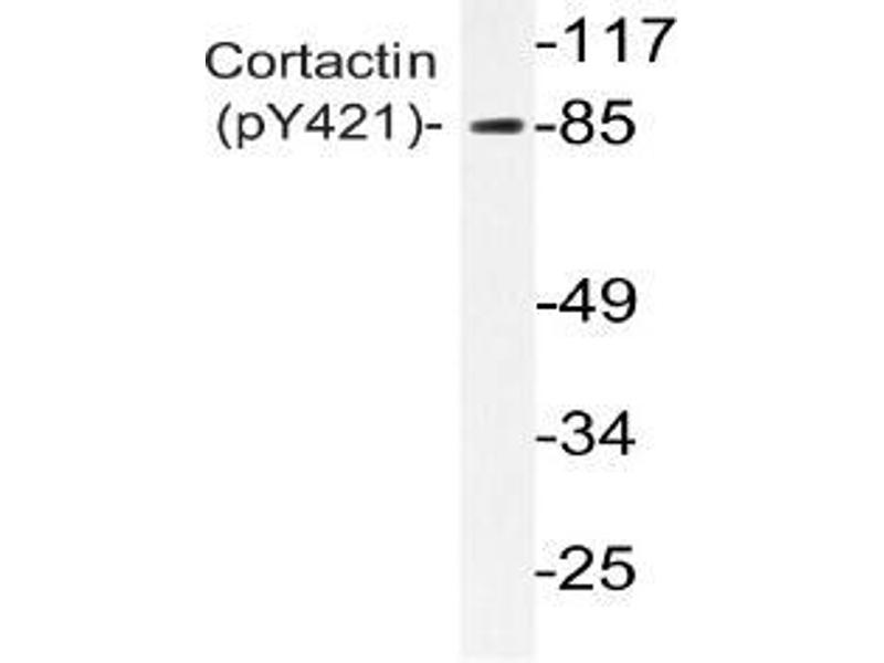 Western Blotting (WB) image for anti-Cortactin antibody (CTTN) (pTyr421) (ABIN498755)
