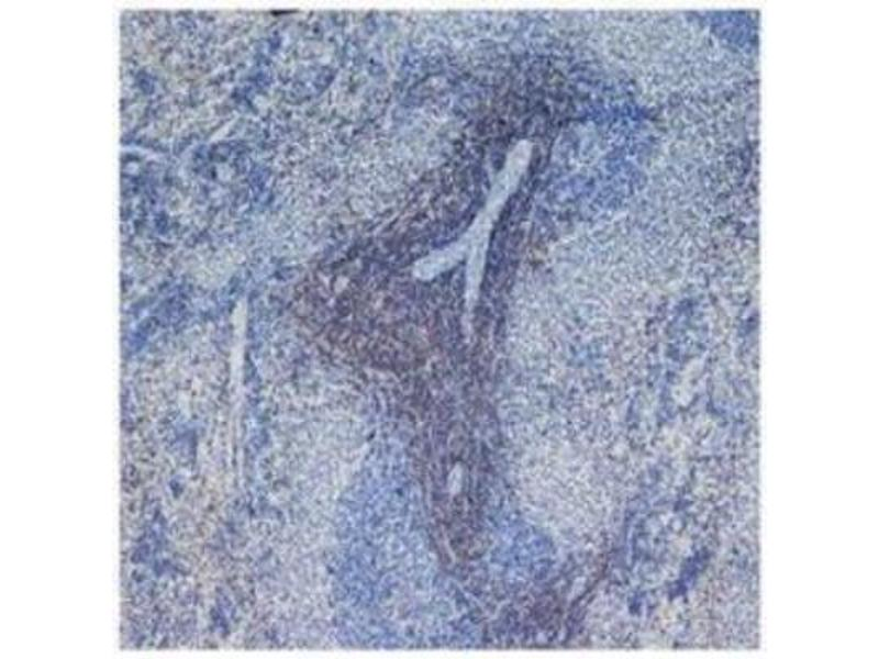 Immunohistochemistry (Frozen Sections) (IHC (fro)) image for anti-CD4 antibody (CD4 Molecule) (ABIN5075610)
