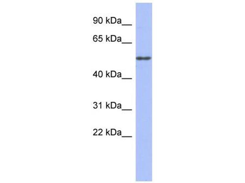 Western Blotting (WB) image for anti-Tubulin, alpha 4a (TUBA4A) (Middle Region) antibody (ABIN2778650)