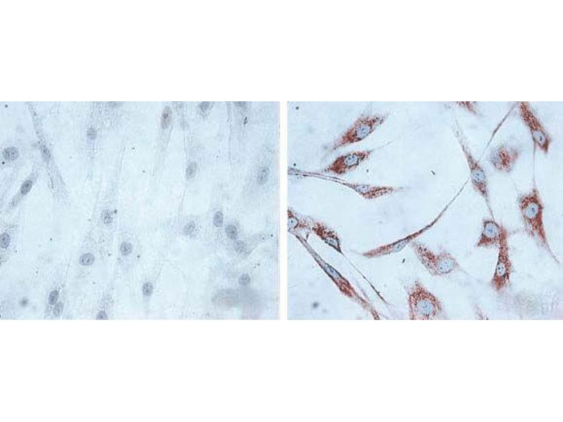 Immunofluorescence (fixed cells) (IF/ICC) image for anti-Heat Shock 60kDa Protein 1 (Chaperonin) (HSPD1) antibody (Alkaline Phosphatase (AP)) (ABIN2481436)