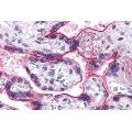 anti-Cell Division Cycle 16 Homolog (S. Cerevisiae) (CDC16) (N-Term) antibody