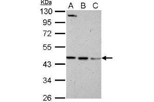 Western Blotting (WB) image for anti-Brain and Reproductive Organ-Expressed (TNFRSF1A Modulator) (BRE) (Center) antibody (ABIN2856794)