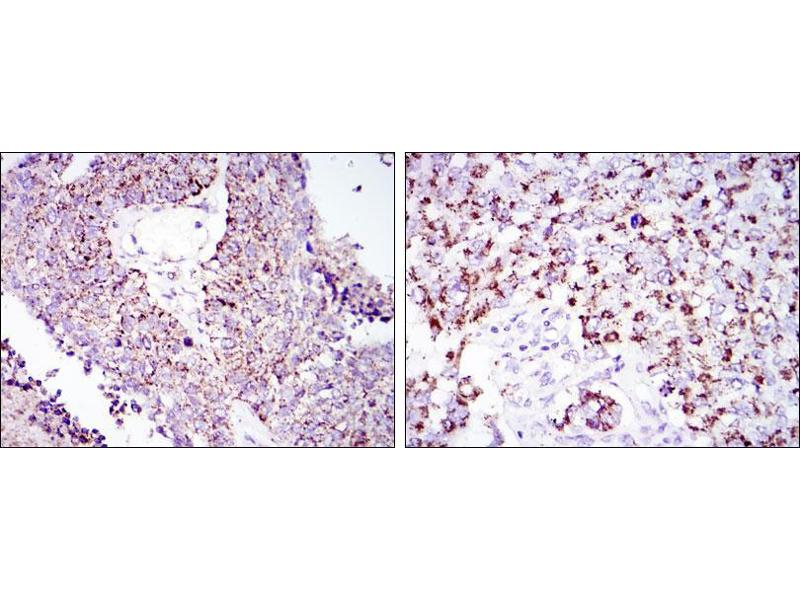 Immunohistochemistry (IHC) image for anti-Heat Shock 60kDa Protein 1 (Chaperonin) (HSPD1) antibody (ABIN4880329)