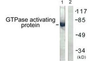 Western Blotting (WB) image for anti-GTPase Activating Protein (GAP) (AA 353-402) antibody (ABIN1532671)