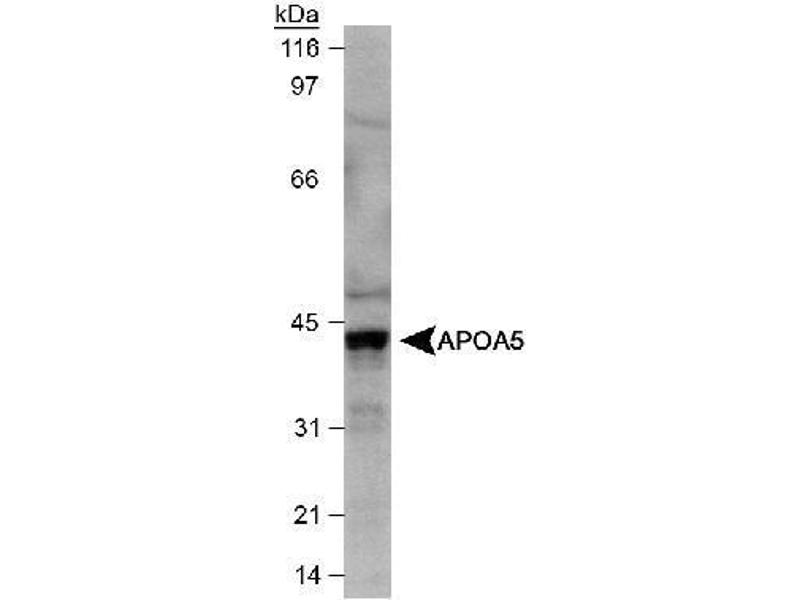 Western Blotting (WB) image for anti-Apolipoprotein A-V (APOA5) antibody (ABIN152906)