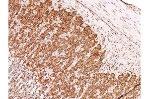 Image no. 3 for anti-Claudin 4 (CLDN4) (pTyr208) antibody (ABIN6271680)