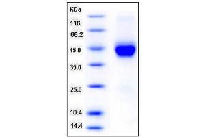 Image no. 1 for Cystatin F (Leukocystatin) (CST7) (AA 1-145) (Active) protein (His tag) (ABIN2002223)